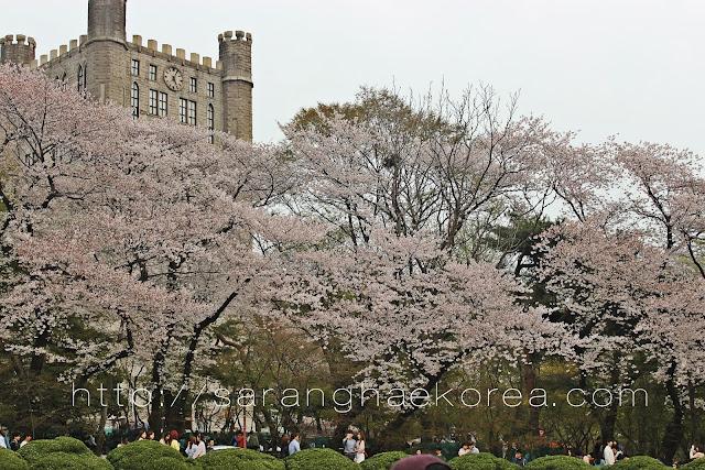 2016 Cherry Blossom Forecast in Korea