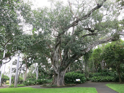 Bohdi tree, Ficus religiosa, Honolulu