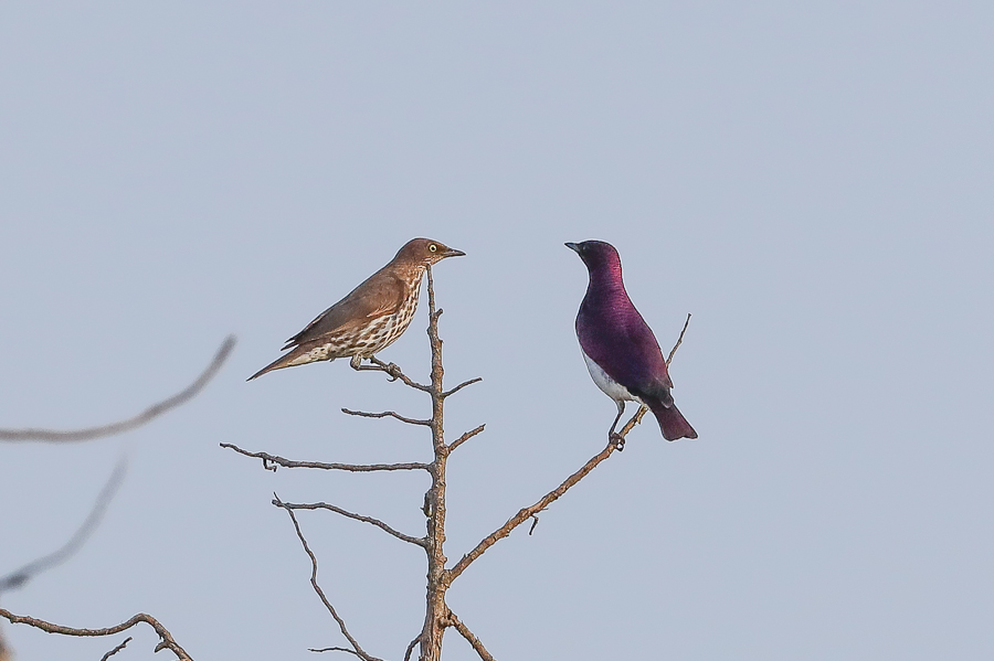 Violet-backed Starlings