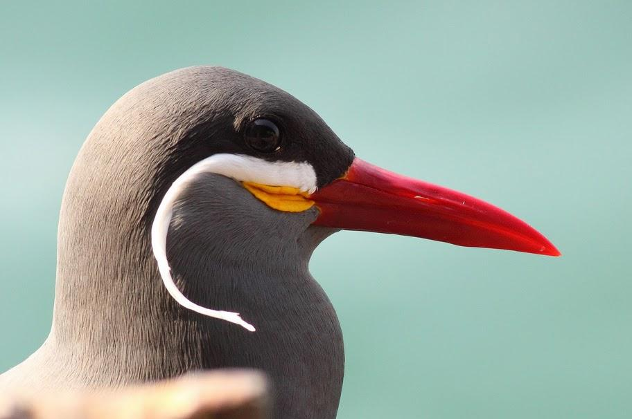 Mustaches Are For the Birds  Inca Tern   Featured Creature