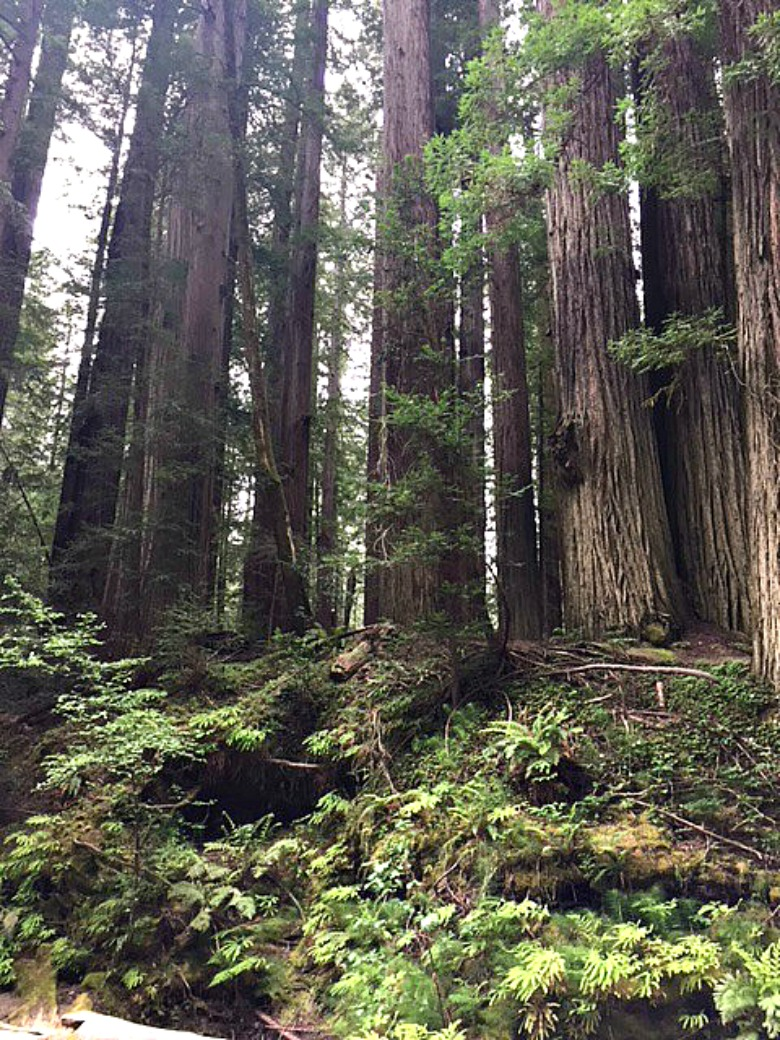 Humboldt County California - Avenue of the Giants - Redwood Forest - bucket list trip