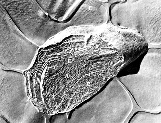 Fotosíntesis: micrografía electrónica de cloroplastos de espinaca