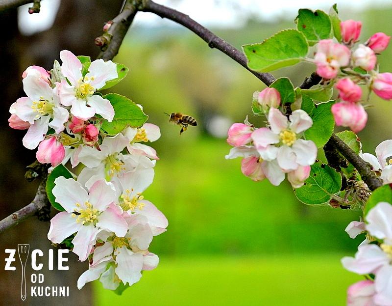 jablon, kwiaty jabloni, pszczola, wiosna, ogrod, maj, majowka, wies, danie na grilla, przepisy na szparagi, grill, trawnik, zielen, blog, zycie od kuchni