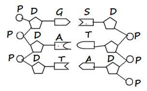 Biologi gonzaga bab substansi genetik bologi kelas xii ikatan hydrogen yang lemah pada diagram dna di atas adalah ccuart Images