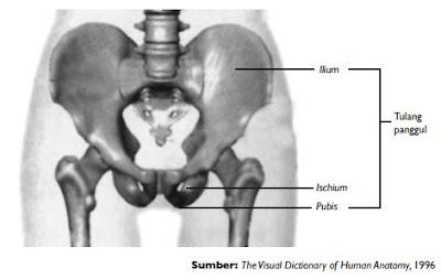 Tulang panggul tersusun dari ilium, ischium, dan pubis