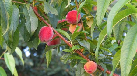 Garden And Yard How To Plant Care For A Peach Tree