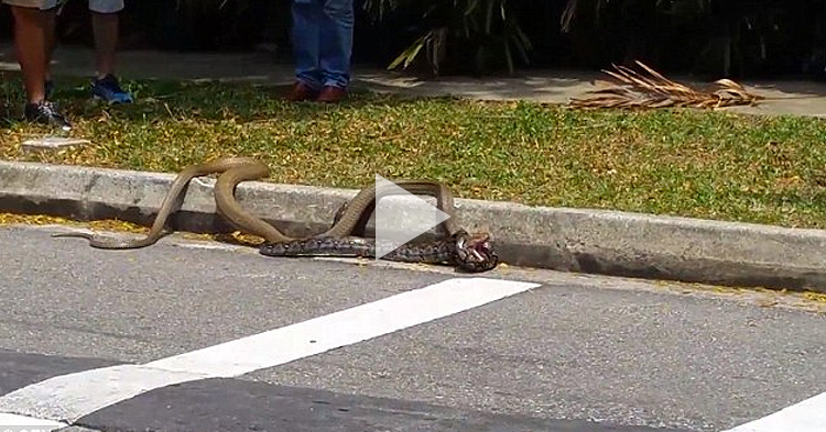 Python vs King Cobra, a street fight between constriction against venom