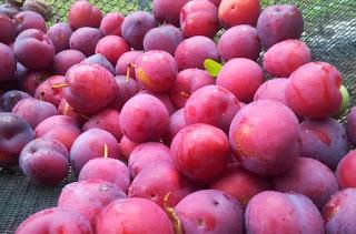 mafaat buah plum