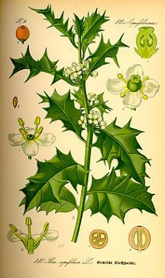 grébol, grébols, Ilex aquifolium, Beseit, ports, puertos, Beceite, acebo 2