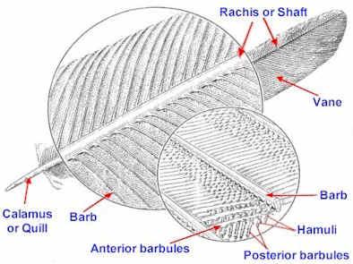 anatomi bulu