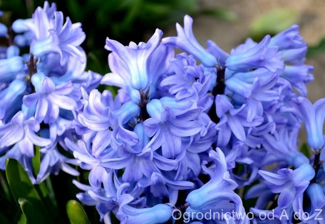 Hyacinthus orientalis