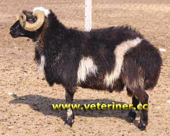 турецкие овцы
