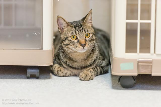 猫カフェ西国分寺シェルターにいたケージの間に隠れ周りの様子を伺っているキジトラの写真 3枚目