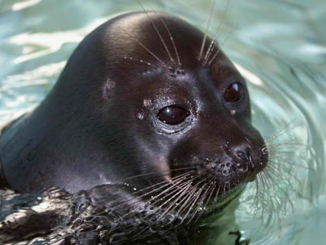 Mass seal deaths in Russia's Lake Baikal