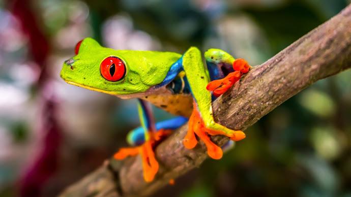 Wallpaper: Red-Eyed Tree Frog