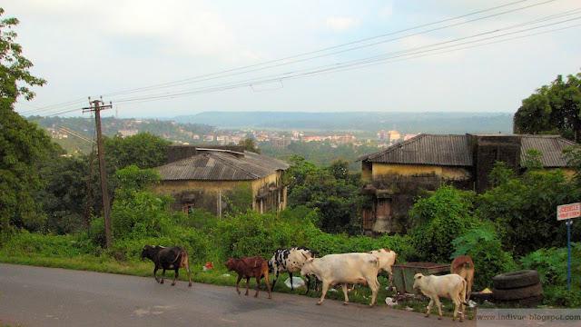 Päivän kuva Intiasta: Tien laidaskin oli lehmä