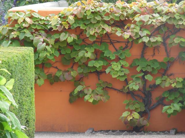 winorośl na pomarańczowej ścianie
