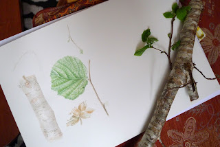 Giulia canevari, hazel tree, corollas avellana, watercolour, botanical art