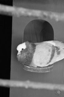 Cramer Imaging's professional black and white photograph of a pigeon seated on a birdhouse at Tautphaus Park Zoo, Idaho Falls, Bonneville, Idaho