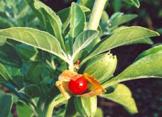 ashwagandha benefits and side effects.