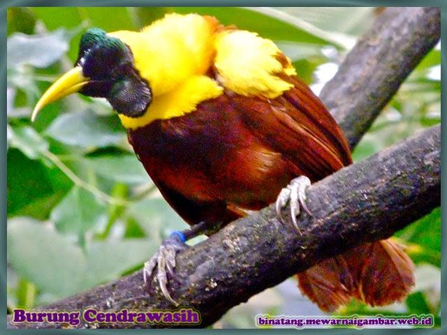 gambar burung cendrawasih