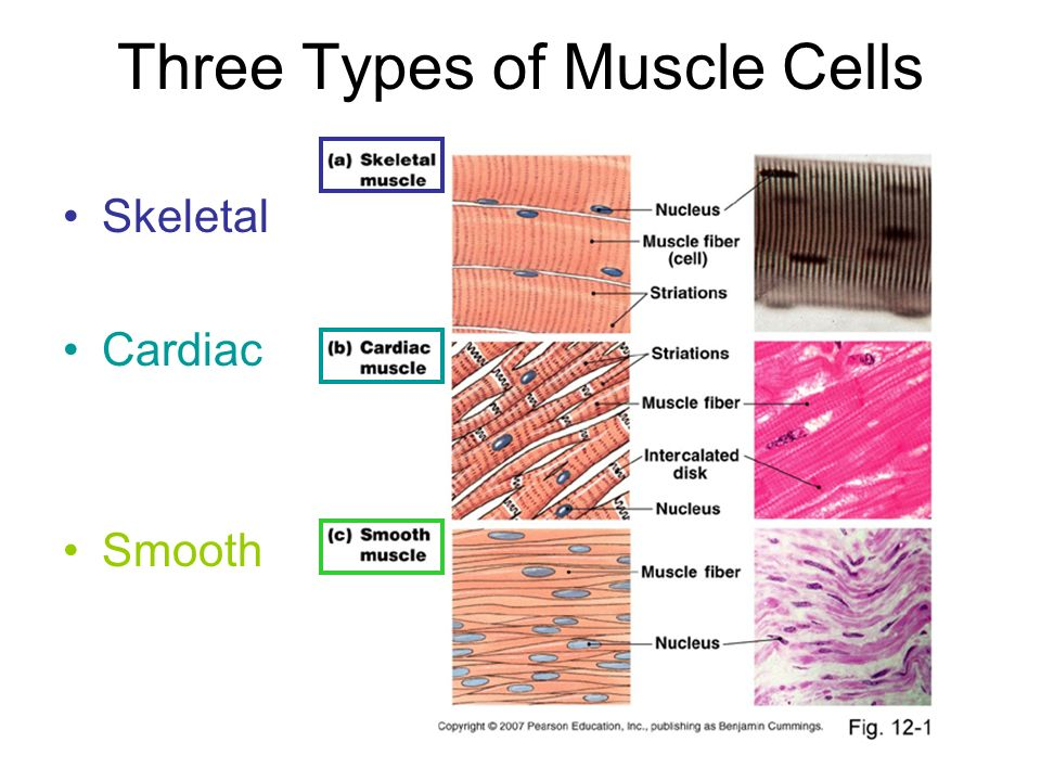 three type of muscle tissue Read on here to learn more about the 3 different muscle fibers and  and each  person has a unique composition of muscle tissue in their body.