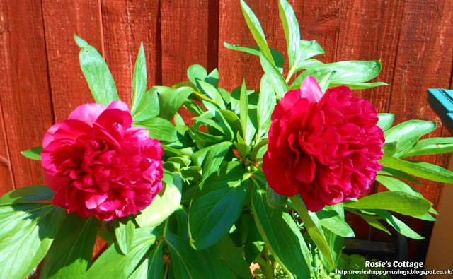 Being blessed by our garden: After being so worried that the snow might have hurt our precious peonies, they did this honeys...