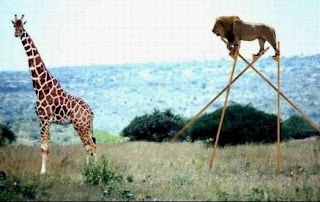 Giraffe did not see that coming