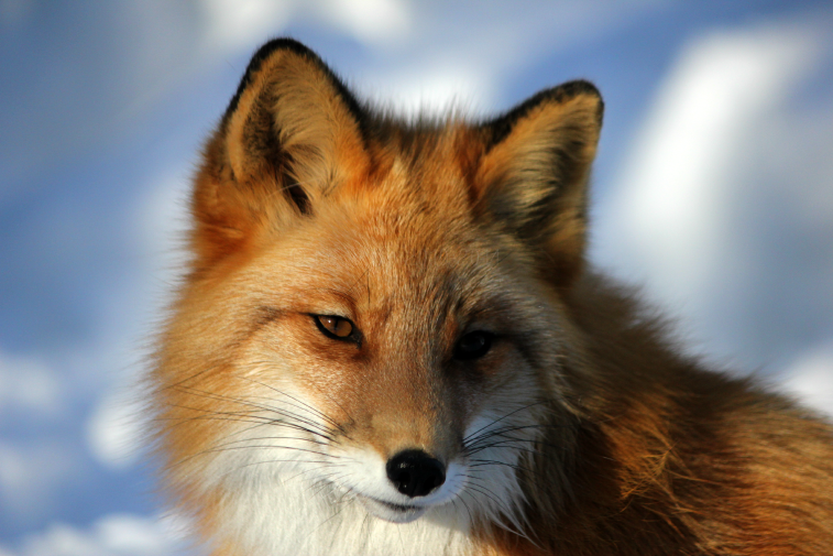 red fox, Alaska Zoo, Anchorage, Alaska