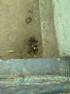 Diarrea en hábitat de un cunaguaro macho