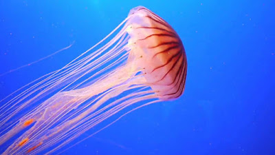 Jellyfish: Animals That Never Die