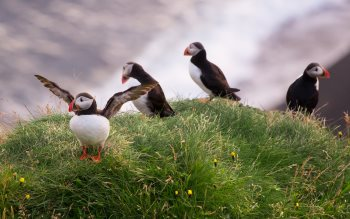 Wallpaper: Gorgeous Puffins