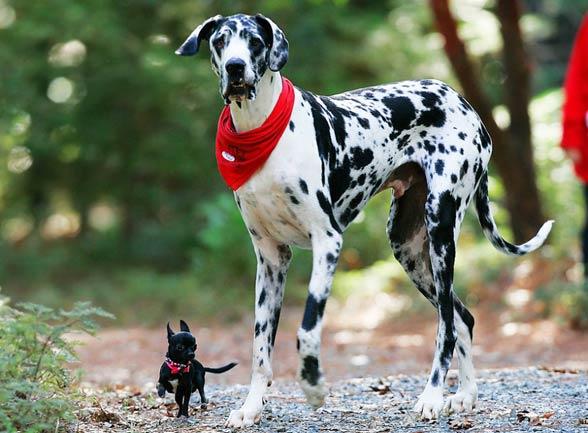 Great Dane Australian Dog Lover