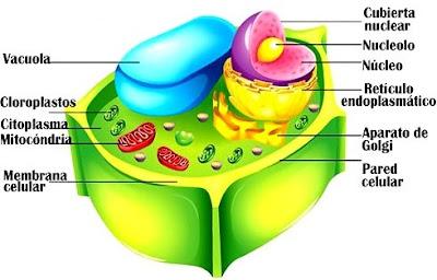 Imagen de las partes de la célula vegetal a colores