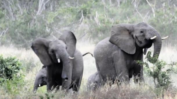 Ελέφαντες το βάζουν στα πόδια γιατί τους κυνηγούν ... μέλισσες