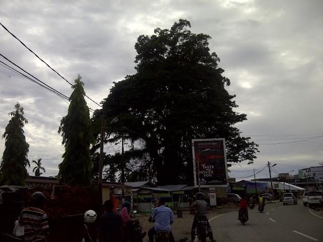 Potong Pohon Raksasa, Pemerintah Abdya Datangkan Ahli dari Simeulue