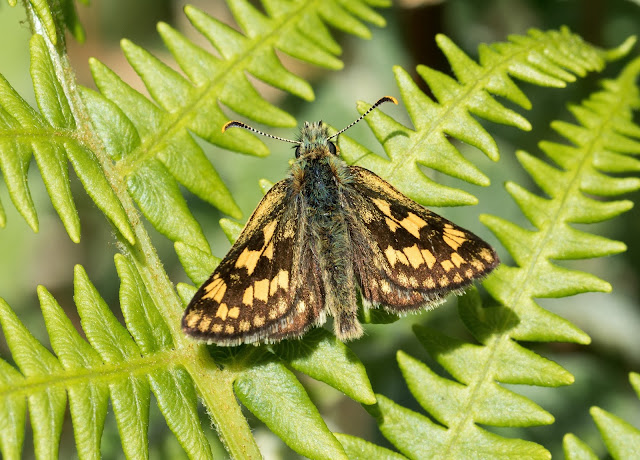 Chequered Skipper - Glasdrum Wood