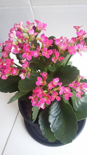 Como cultivar a flor da fortuna