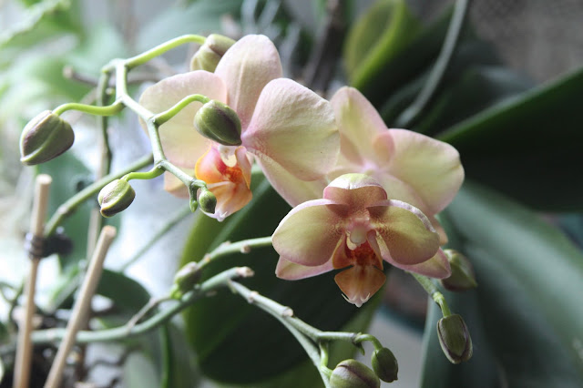 orchids, moth orchids, phalaenopsis, peach orchids, Anne Butera, My Giant Strawberry