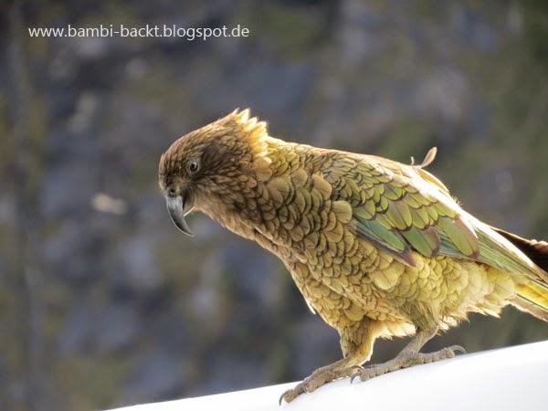 Kea in New Zealand | Foodblog rehlein backt