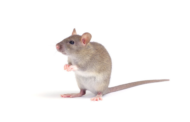 Mice and rat control in Melbourne