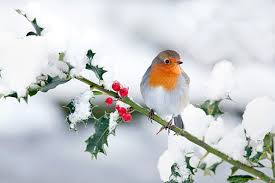 Pettirosso a Natale