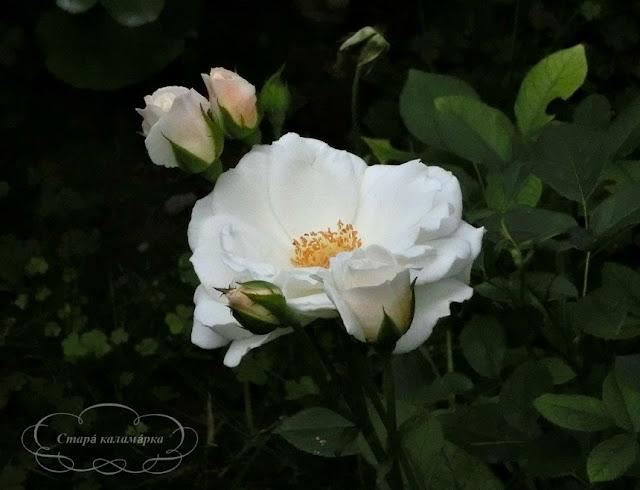 розы, розы в саду, розы вдохновение, розарии