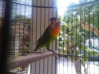 lovebird rontok bulu