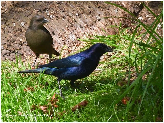 El color del plumaje diferencia al macho de la hembra - Chacra Educativa Santa Lucía
