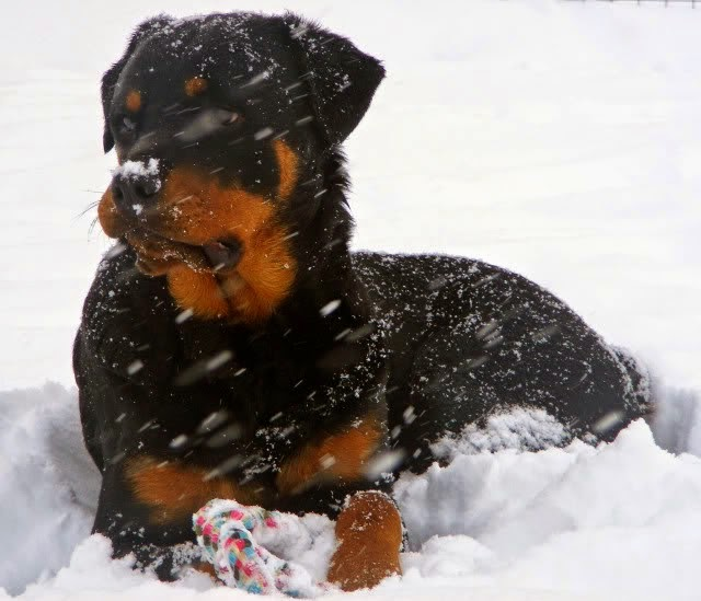 Rottweiler in winter cold weather snow / tips