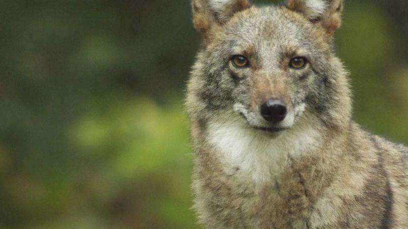 Νέο είδος Λύκου... «coywolf»!!! (βίντεο)