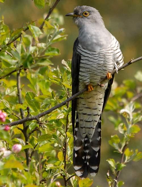 Birds of India - Photo of Common cuckoo - Cuculus canorus