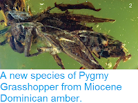 http://sciencythoughts.blogspot.co.uk/2014/08/a-new-species-of-pygmy-grasshopper-from.html