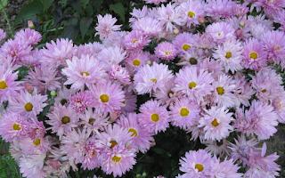 хризантемы-поздние